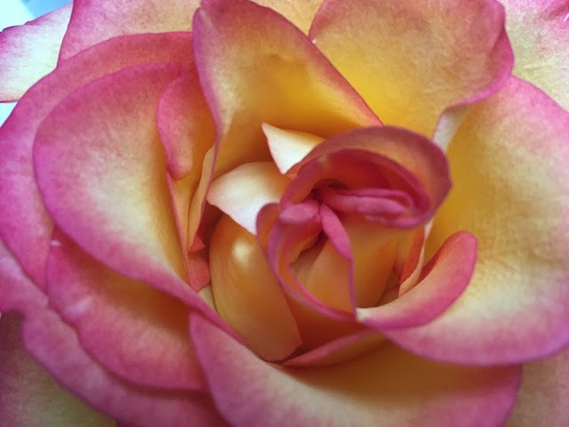 Image of a yellow rose upclose with bright pink tipped petals. ...